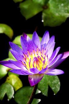 Flower, Purple, Water Lily, Olympus, Camera, Spring