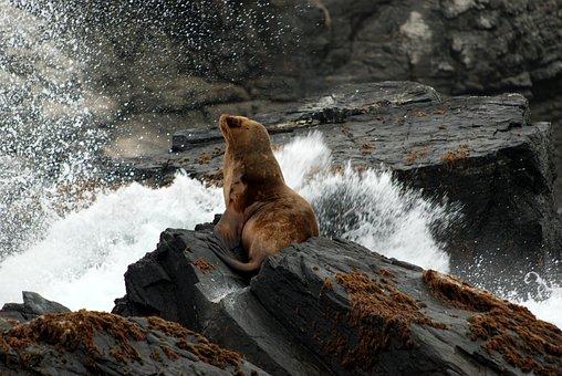 Sea Lion, Peru, Chile, Sea Lions, Island, Sea, Nature