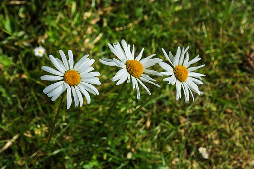 Daisy, Flower, Summer, Meadow, Yellow, White, Floristry