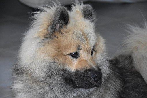 Dog, Dog Eurasier, Dog Pure Breed