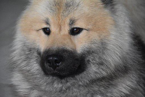 Dog, Dog Eurasier, Dog Pure Breed, Black Muzzle
