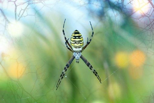 Tygrzyk Paskowany, Female, Arachnid