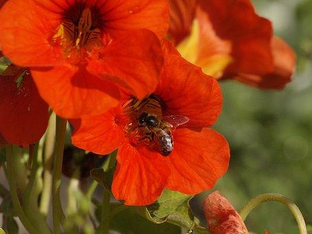 Flower, Red, Nasturtium, Bee, Feeding, Summer, Nature