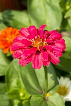 Chrysanthemum, Flowers, Dark Pink