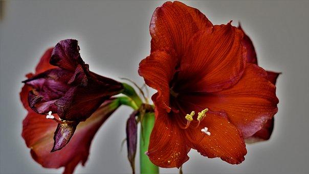 Amaryllis, Flowers, Red, Close Up