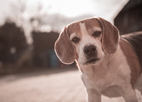 Beagle, Portrait, Vintage, Hof, Dog, Pet
