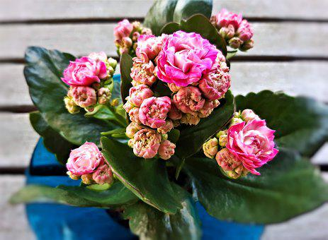 Kalanchoe, Flowers, Potted Plant