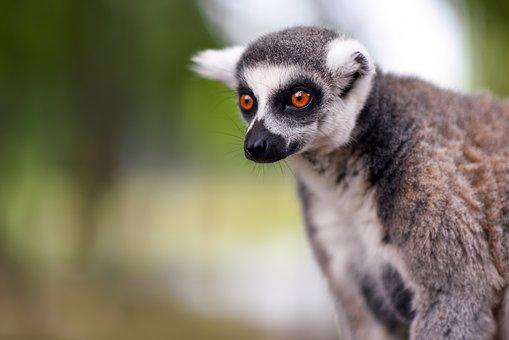 Lemur, Monkey, Animal, Zoo, Ape, Nature, Fur, Cute
