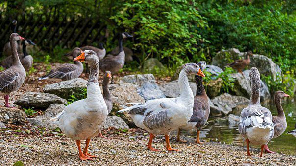 Goose, Animal, Bird, Greylag Goose, Nature, Poultry