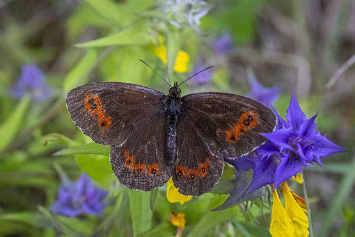 Dark Brown, Butterfly, Summer, Meadow, Estonia, Nature
