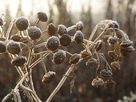 Plant, Nature, Frost, Winter, Cold, Flower, Hoarfrost