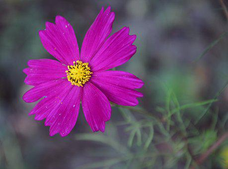 Cosmos, Pink, Bloom, Cosmea, Nature, Plant, Blossom