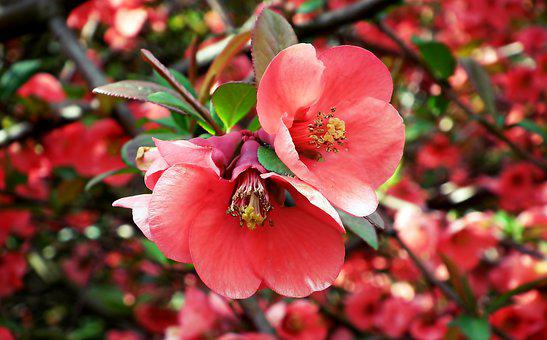 Quince, Flowers, Tree, Spring, Garden, Red, Plant