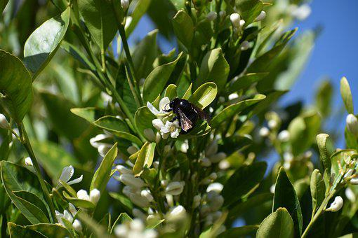 Bee, Black, Pollination, Insect, Blossom, Fruit Tree