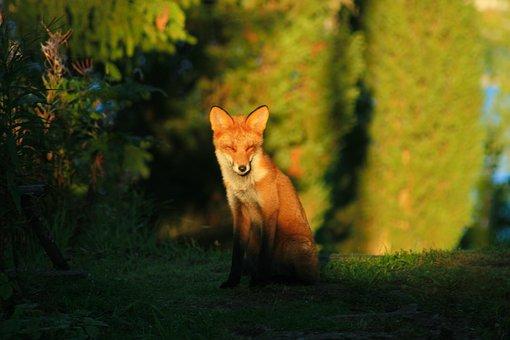 Red Fox, Wild Animal, Predator, Cute