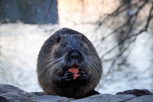 Nutria, Animal, Rodents, American, Mouse