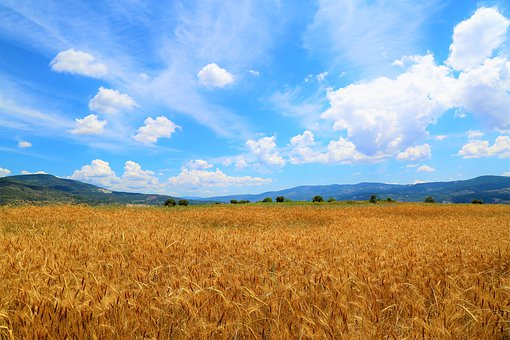 Wheat, Field, Land, Sky, Agriculture, Area, Grain