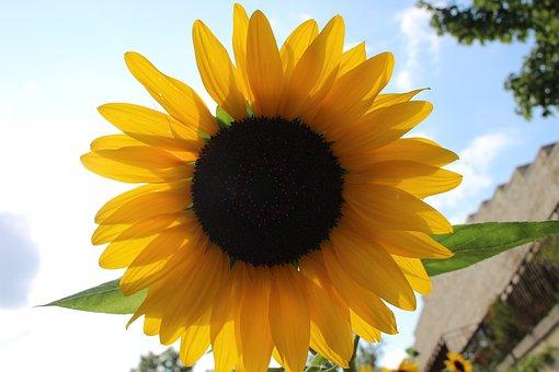 Sunflower, Sky, Sun, Summer, Yellow, Flowers, Clouds