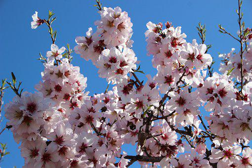 Almond Blossom, Blossom, Bloom, Soft Pink, Bloom