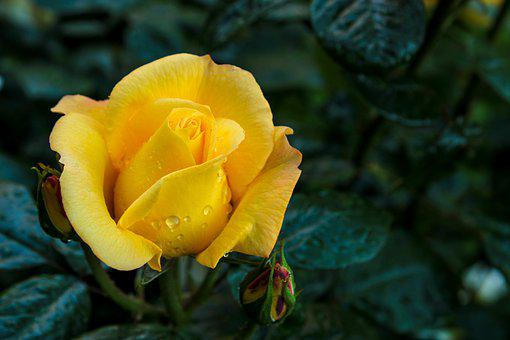 Yellow Rose, Rose, Feeling, Passion, Background, Flower