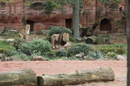 Lion, Zoo, Male, Female, Mane, Berber Lion, Carnifore