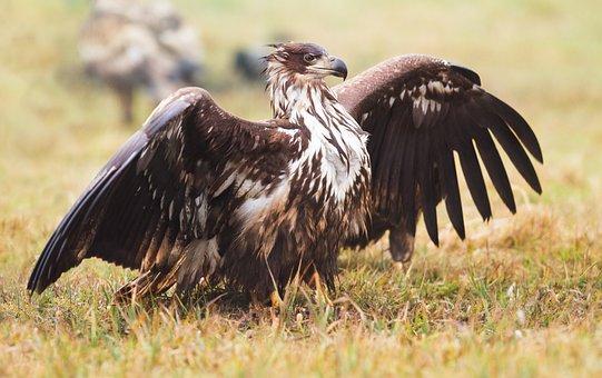 White-tailed Eagle, Eagle, Raptor, Bird, Nature