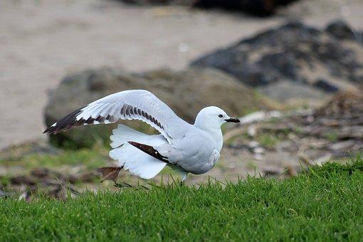 Black Beaked Seagull, Bird, Wildlife, Nature, Blue