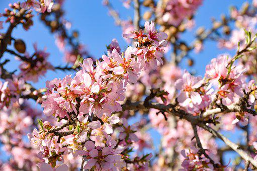 Tree, Almond, Blossom, Bloom, Nature, Flowers, Pink