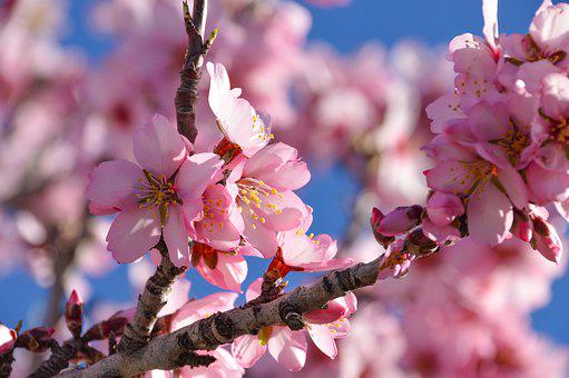 Blossom, Tree, Pink, Branch, Nature, Flowers, Color