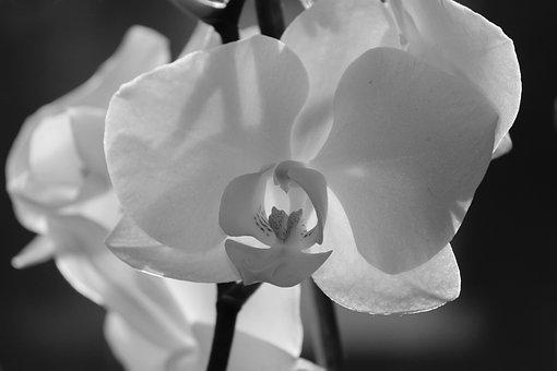 Orchid, Blossom, Bloom, Close Up, Plant, Phalaenopsis