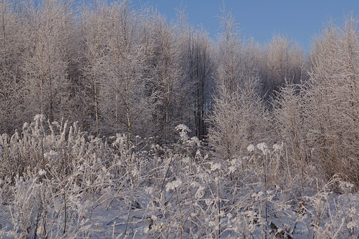 Nature, Winter, Calm, Snow, Cold, Trees, Spruce