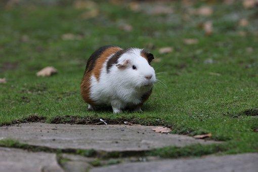 Guinea Pig, Zoo, Colorful, Rush