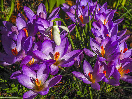 Flowers, Crocus, Spring, Nature, Early Bloomer, Purple