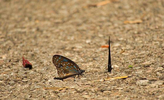 Butterfly, Dark Blue Tiger, Tirumala Septentrionis
