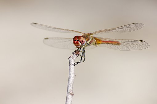 Red-veined Dropwing, Trithemis Arteriosa, Dragonfly