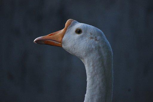 Ducks, Bird, Duck, Nature, Animal, Swan