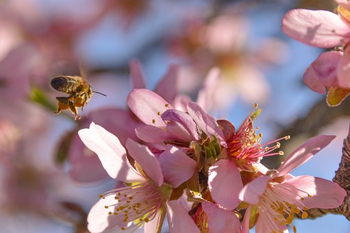 Blossom, Almond, Flowers, Tree, Nature, Honeybee, Bee