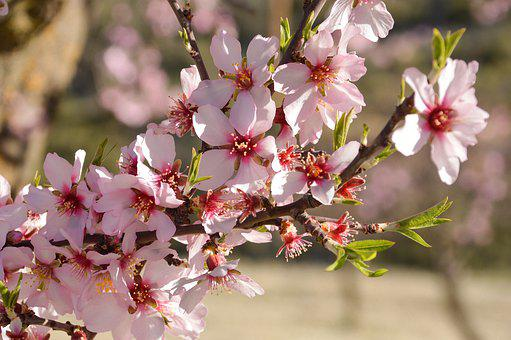 Almond, Blossom, Tree, Flowers, Bloom, Pink, Nature