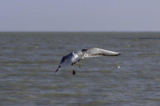 Seagull, Bird, Water Bird, Fly, Wing, Wild World, Birds
