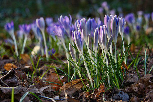 Forest, Forest Floor, Crocus, Bloom, Early Bloomer