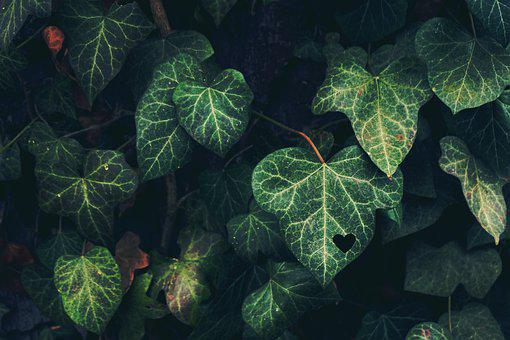 Ivy, Heart, Feelings, Friendship, Love, Symbol