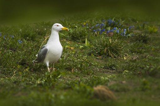 Large White-headed Gulls, Larus, Bird, White, Seagull