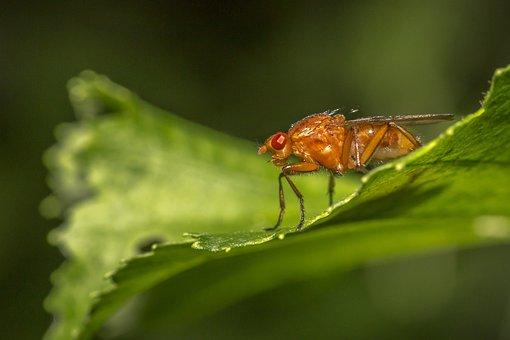 Portrait, Red, Fly, Vinegar, Leaf, Macro, Animal