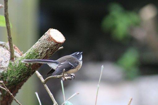 New Zealand, Native, Bird, Fantail, Symbol, Nature