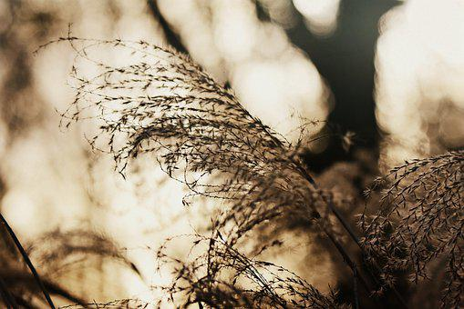 Pampus Grass, Plume, Plant, Vegetation, Feathery