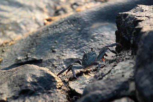 Crab, Cancer, Beach, Animal, Sea, Pliers, Zodiac Sign
