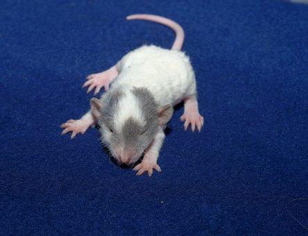 Rat, Color Rat, Young Animal, Curious