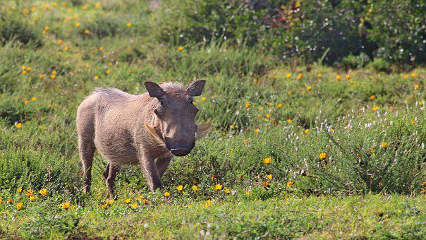 South Africa, Warthog, Reserve, Safari