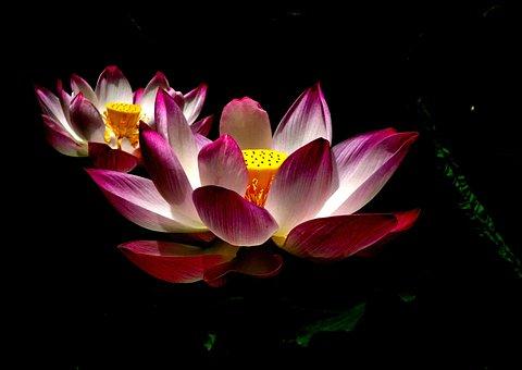 Lotus Flower, Flower, Plant, Spring