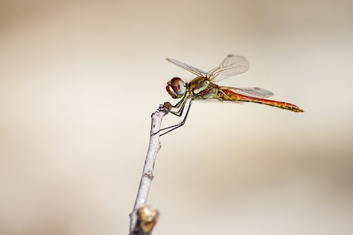 Red-Veined Dropwing, Trithemis Arteriosa